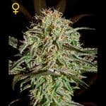 AMS - Feminized - Greenhouse Seeds