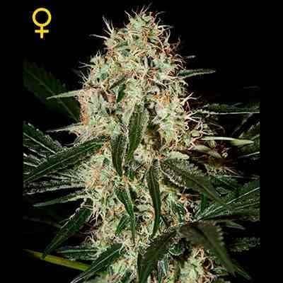 Arjan Haze#3 - Feminized - Greenhouse Seeds