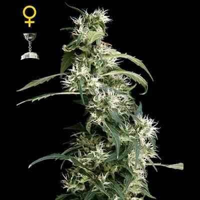 Arjan Ultra Haze #2 - Feminized - Greenhouse Seeds