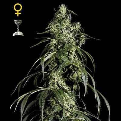 Arjans Haze #1 - Feminized - Greenhouse Seeds