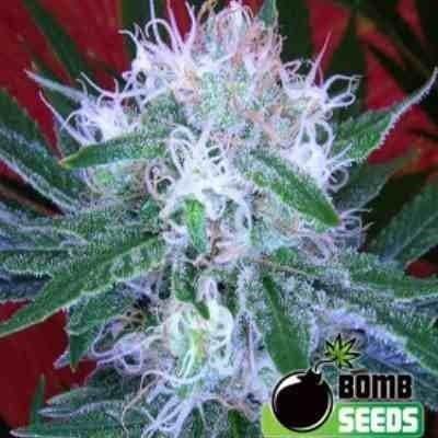 Auto bomb  - Feminized - Greenhouse Seeds