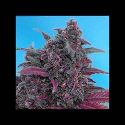 Auto Dark Devil - Feminized - Sweet Seeds