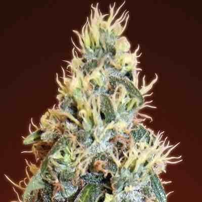 Auto Jack Herer - Feminized - Advanced Seeds