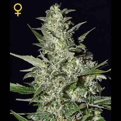 Super Critical Auto - Feminized - Greenhouse Seeds