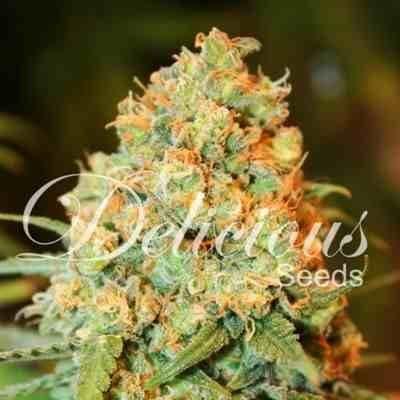 Super Silver Haze - Feminized - Delicious Seeds