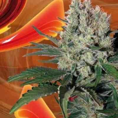 Syrup Feminized - Buddha Seeds