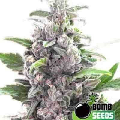 THC Bomb - Feminized - Bomb Seeds