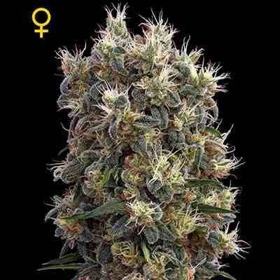 The Church - Feminzed - Greenhouse Seeds