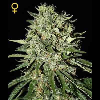 The Doctor - Feminized - Greenhouse Seeds