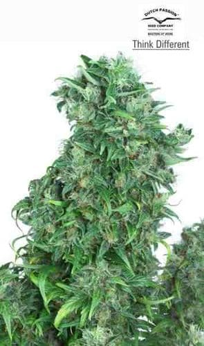 Think different - Feminized - Dutch Passion Seeds
