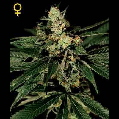Train Wreck - Feminized -Greenhouse Seeds