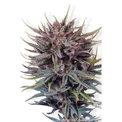 Trance - Feminized - Dutch Passion Seeds