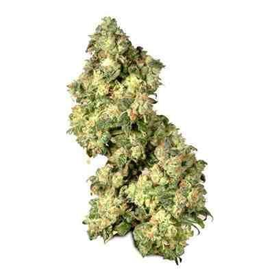 Ultra Skunk - feminized - Dutch Passion Seeds