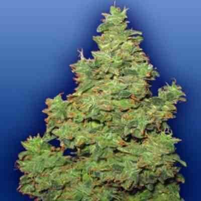 Voyager - Feminized - Flying Dutchman Seeds