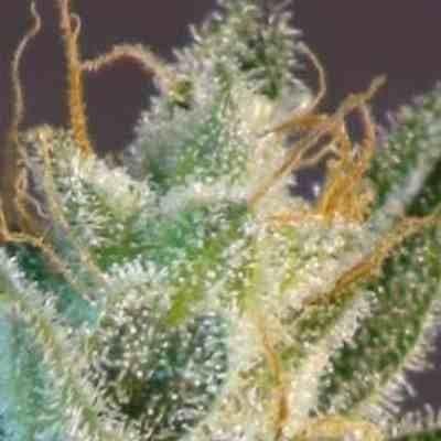 White Domina - Feminized - Kannabia Seeds