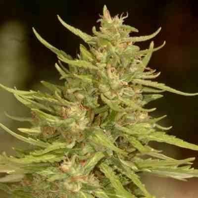 White Dwarf - Feminized - Buddha Seeds
