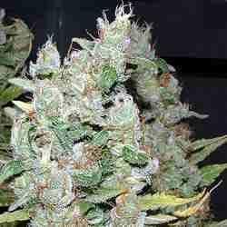 White Widow  -  Feminized - Greenhouse Seeds
